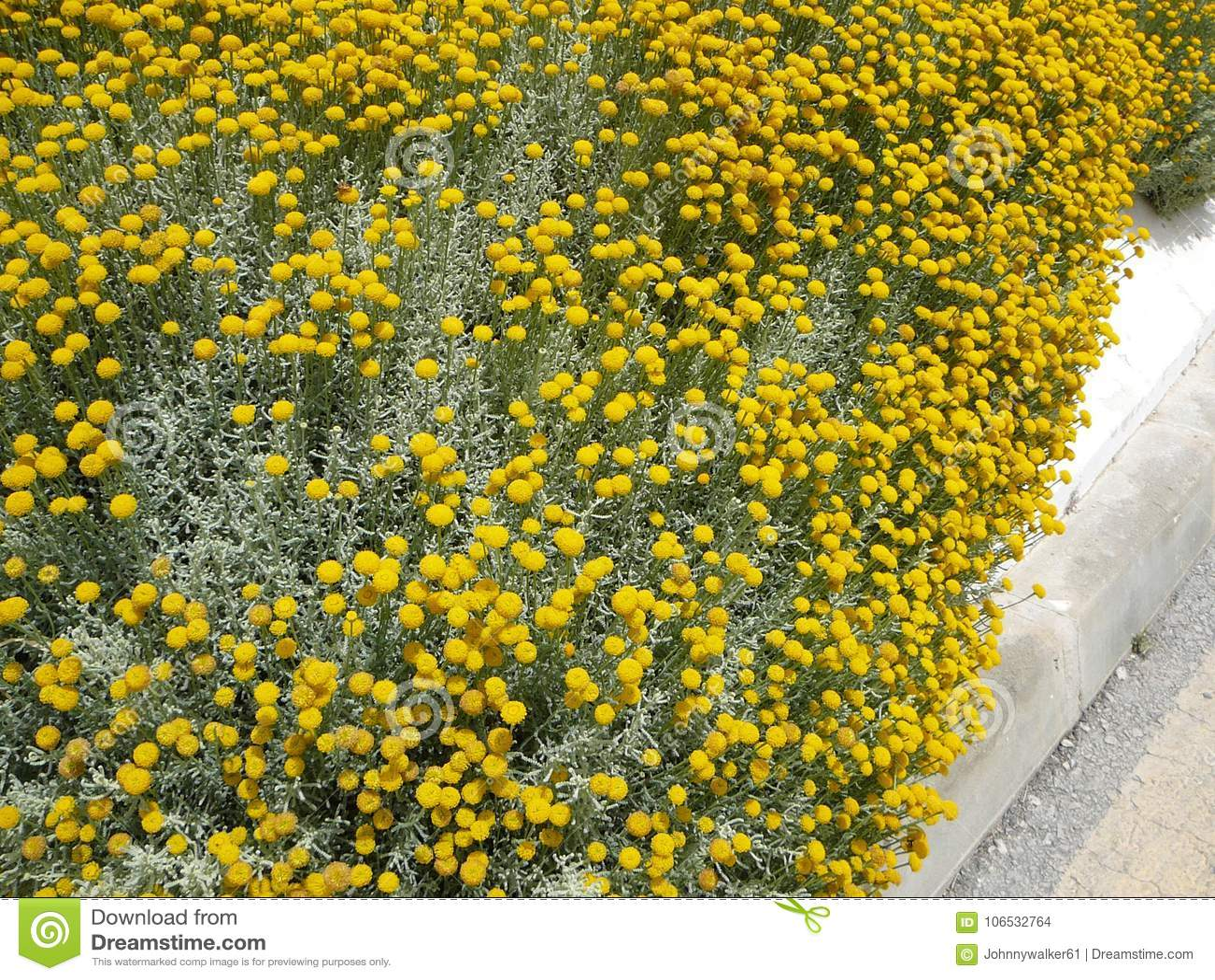 Craspedia billy balls yellow flower stock photo image of download comp mightylinksfo