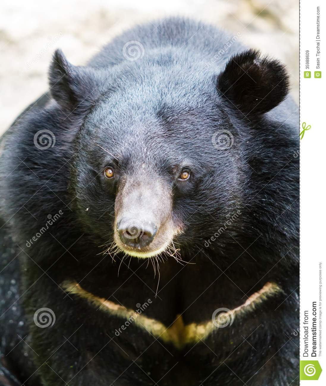 Black bear head profile - photo#4