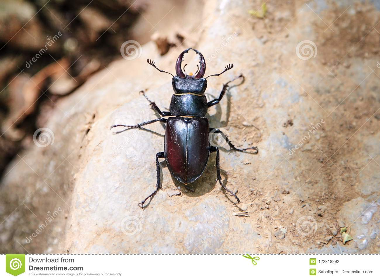 Large Black Beetle With Long Mustache And Mandibles Stock