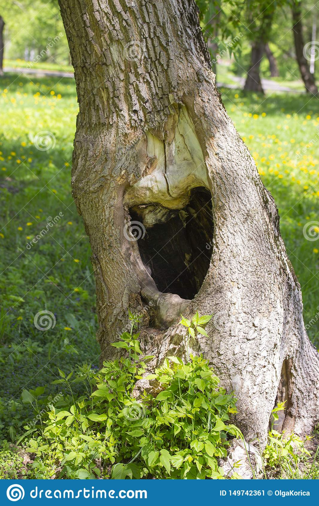 Large black hollow in a tree trunk. Summer green grass on background. Hole in the tree hollow opening manhole niche recess