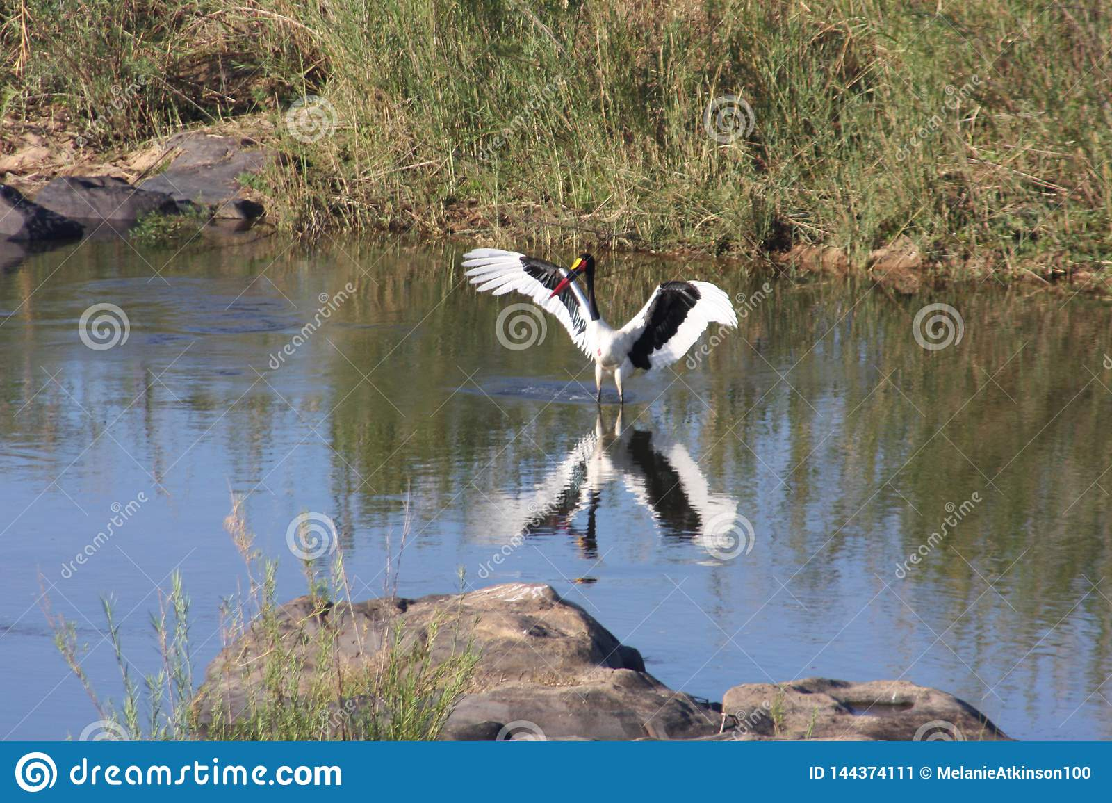 Large black and white bird standing in the water