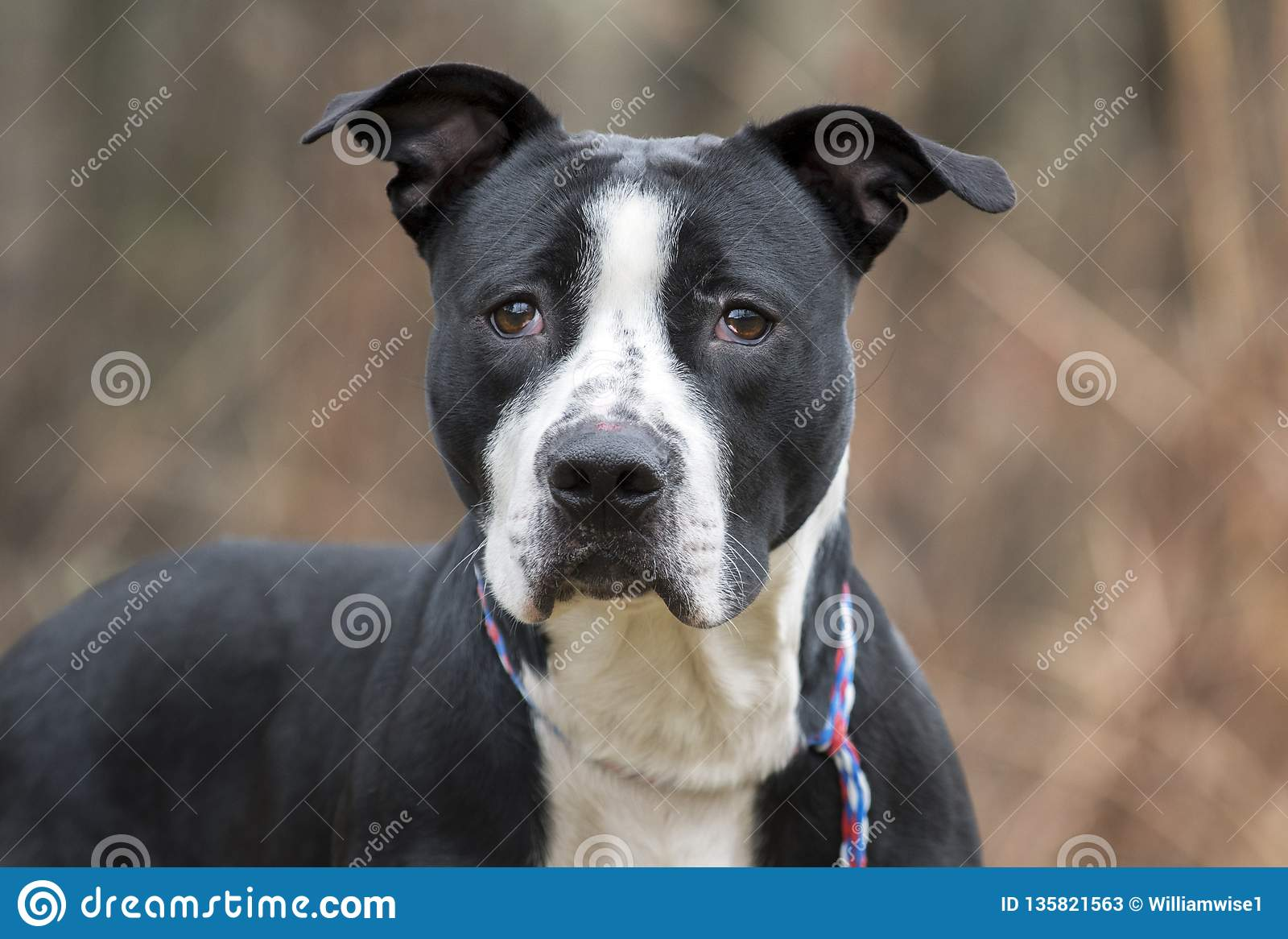 Black And White American Bulldog Pitbull Terrier Mix Dog Stock Image