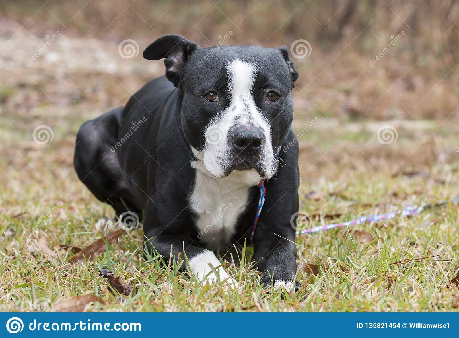 Black And White American Bulldog Pitbull Terrier Mix Dog Stock Photo
