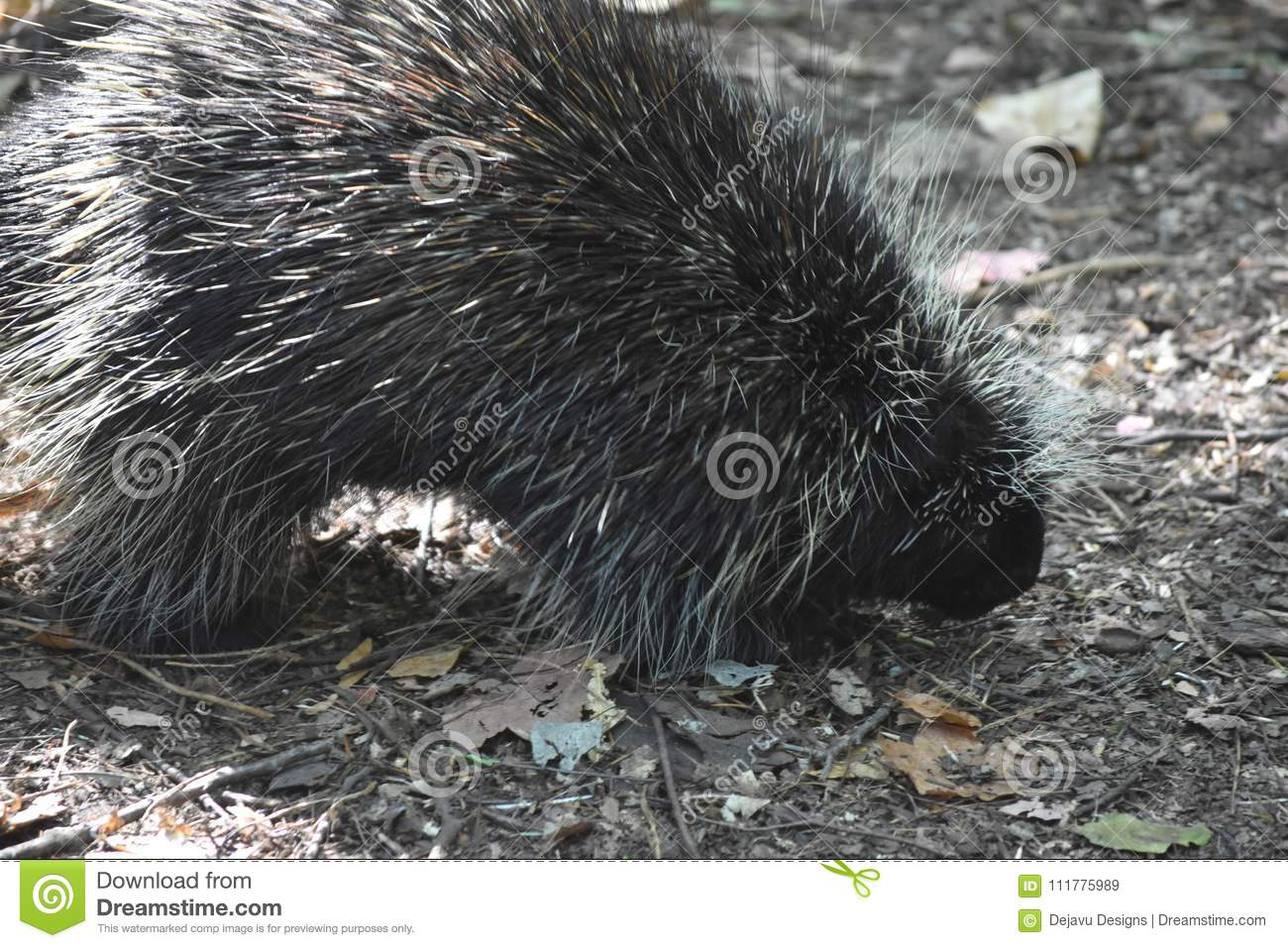 Large black and white porcupine walking in the woods