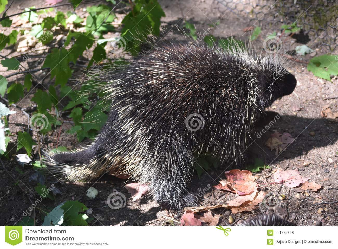 Wild porcupine with large quills covering its body