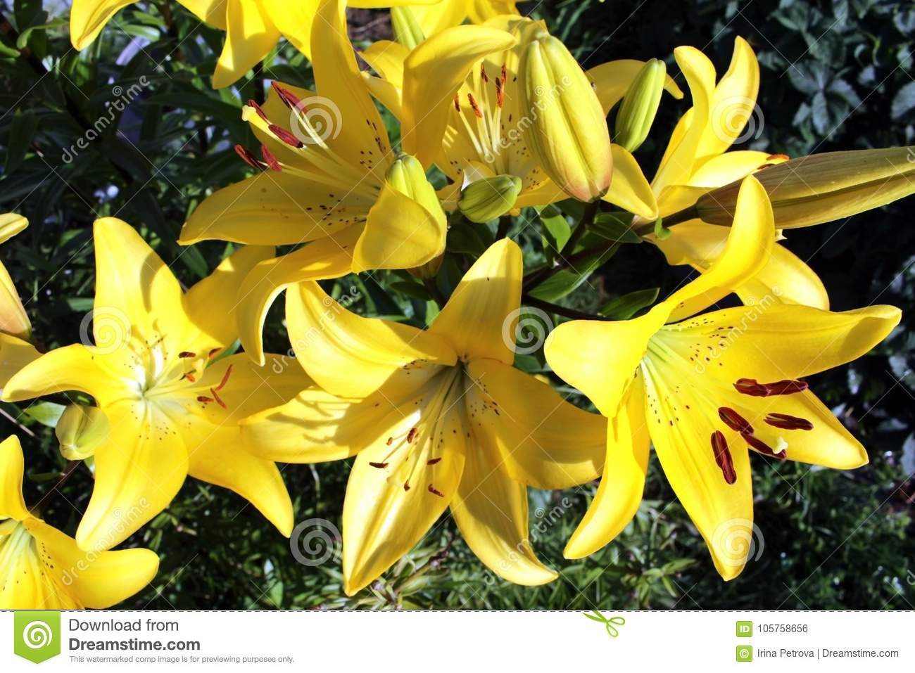 Large Blooming Flower Yellow Lilies Stock Photo Image Of