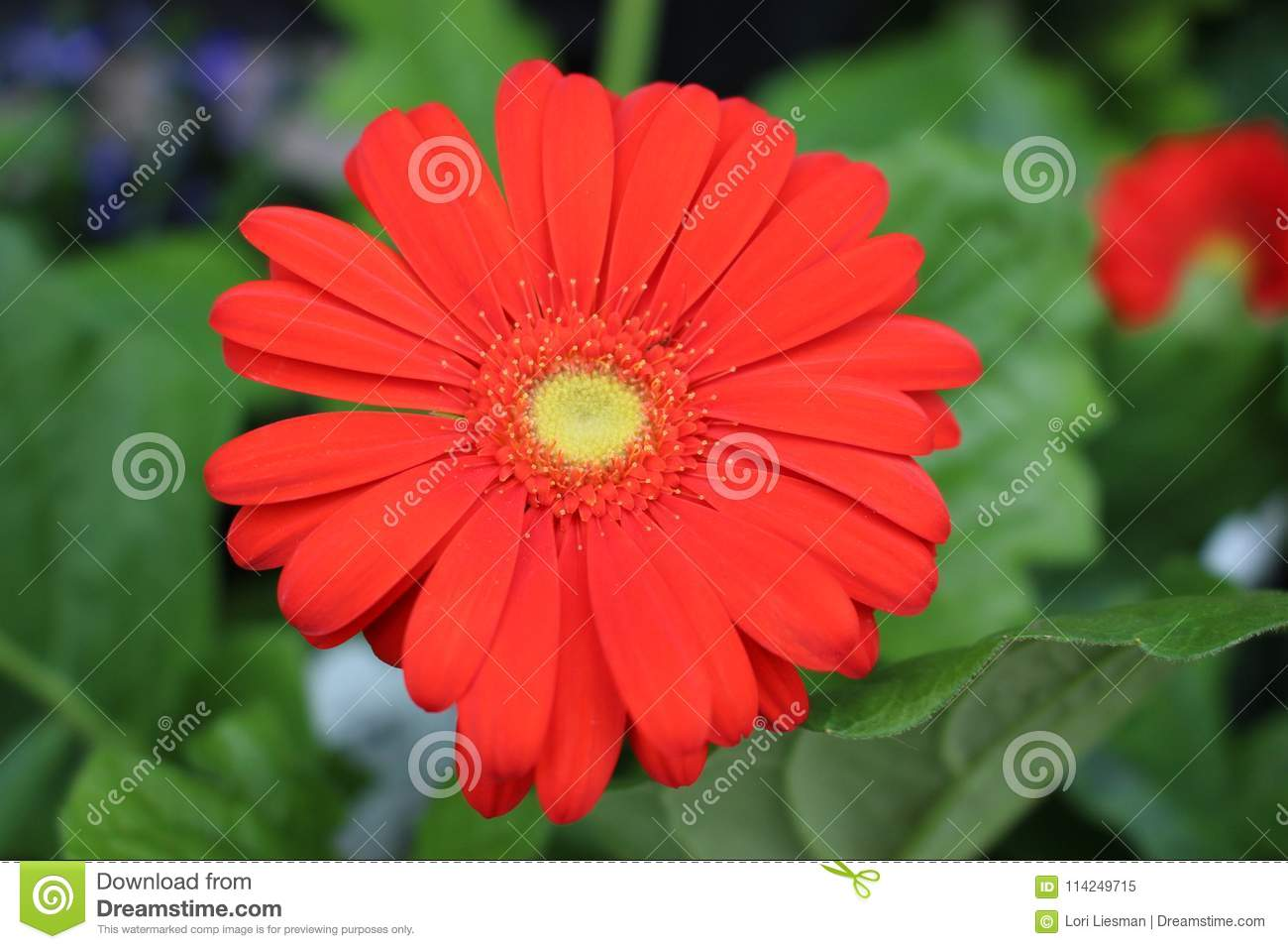 Large Blossomed Daisy Like Red Flower In Full Bloom Stock Image