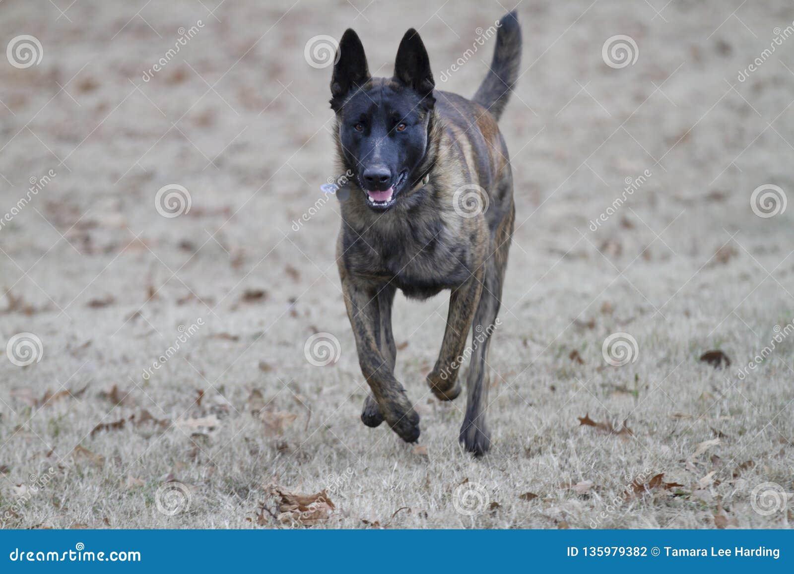Dutch Shepherd Dog Or Belgian Malinois Dog Running Towards Viewer