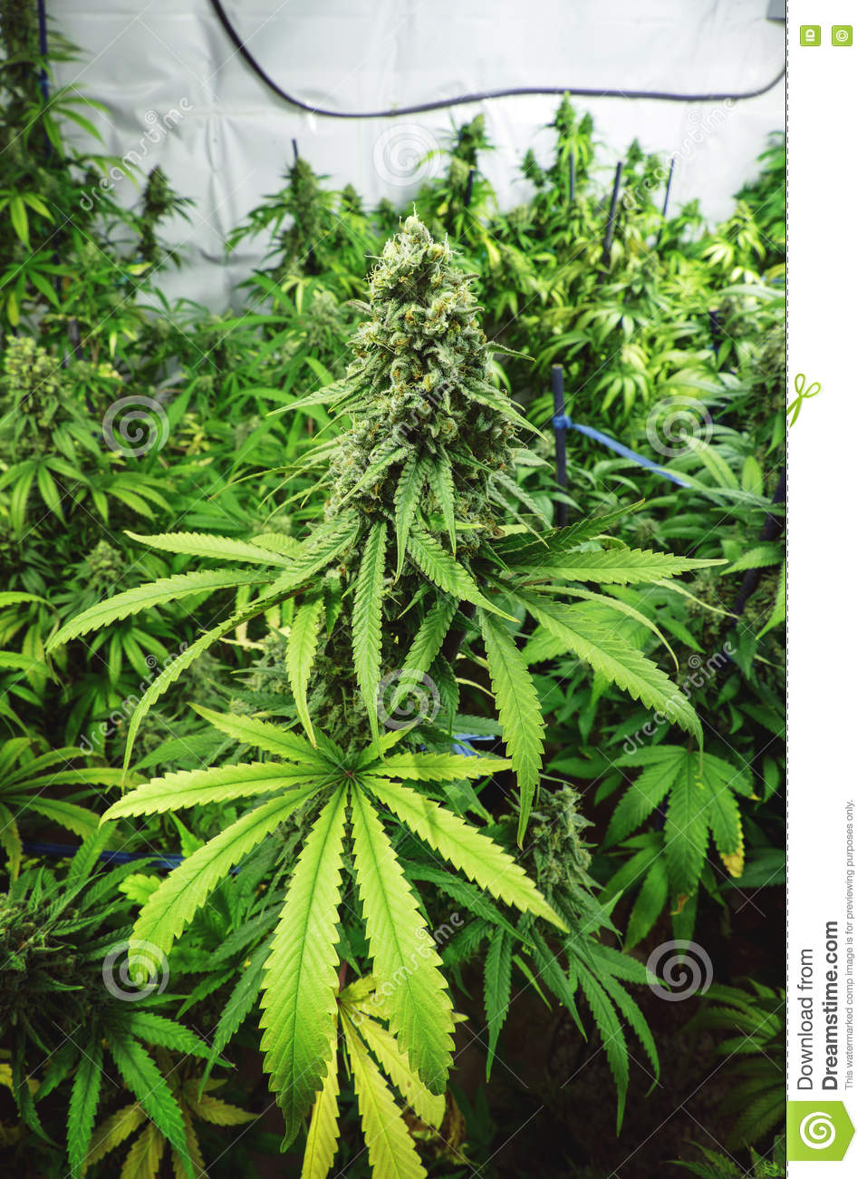 Large Budding Plant At Indoor Cannabis Farm Stock ... on outdoor cannabis, home grow weed easy, organic grown cannabis, agent orange cannabis, growing cannabis, mutant cannabis, dried cannabis, led cannabis, say no to cannabis, drying cannabis, cheese cannabis, blue mystic cannabis, lsd cannabis, funny cannabis, indoor plants cannabis,
