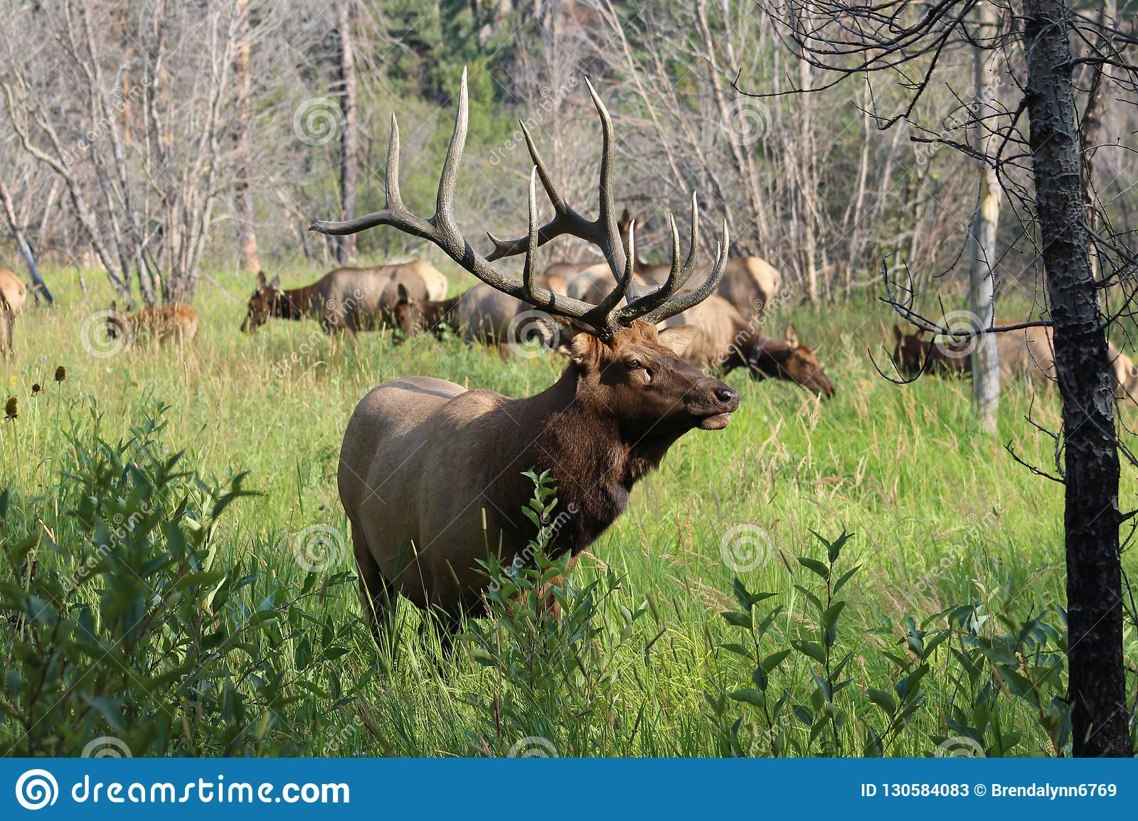 Large Bull Elk, Rocky Mountain National Park