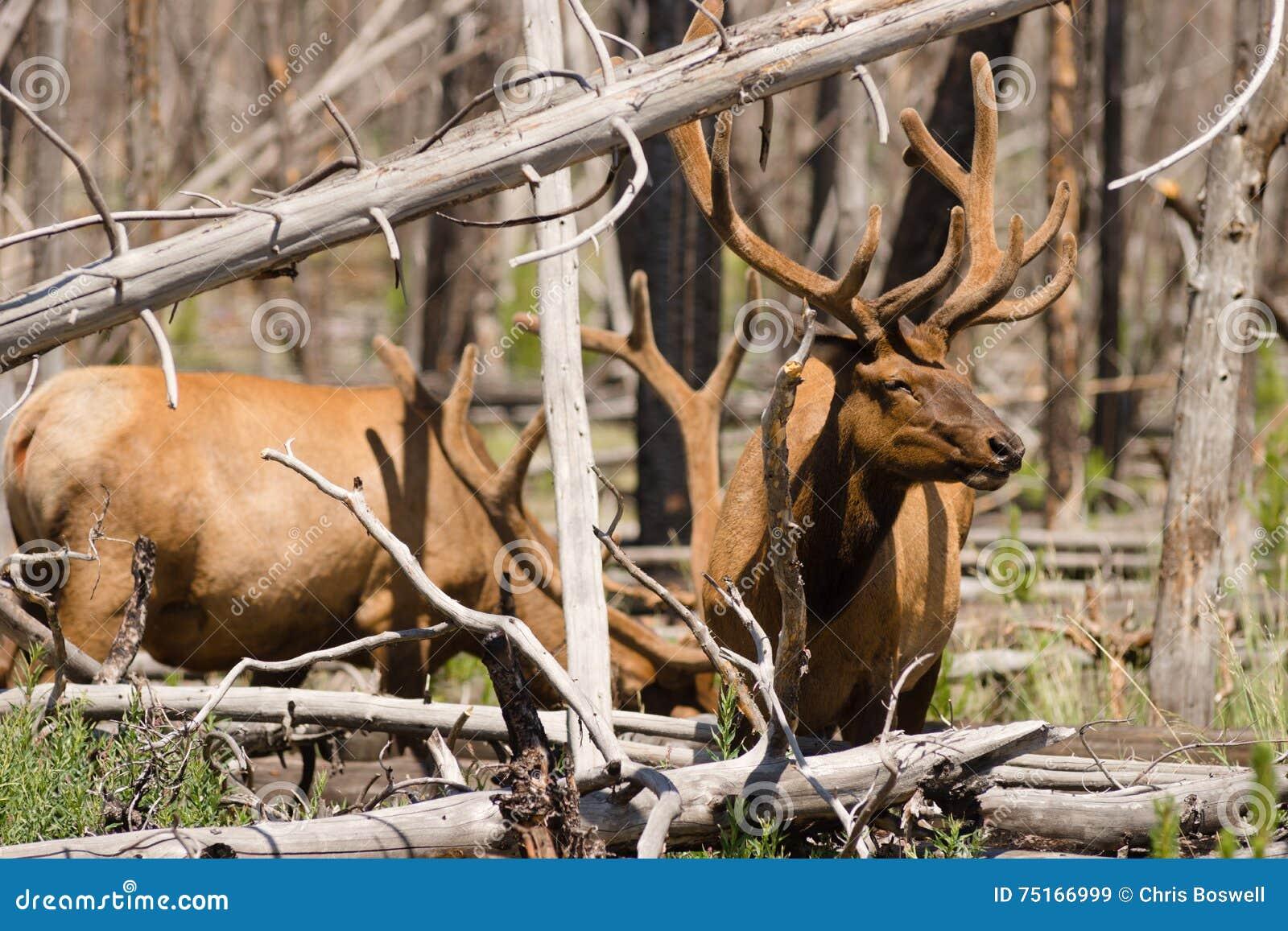 Large Bull Elk Western Animal Wildlife Yellowstone National Park