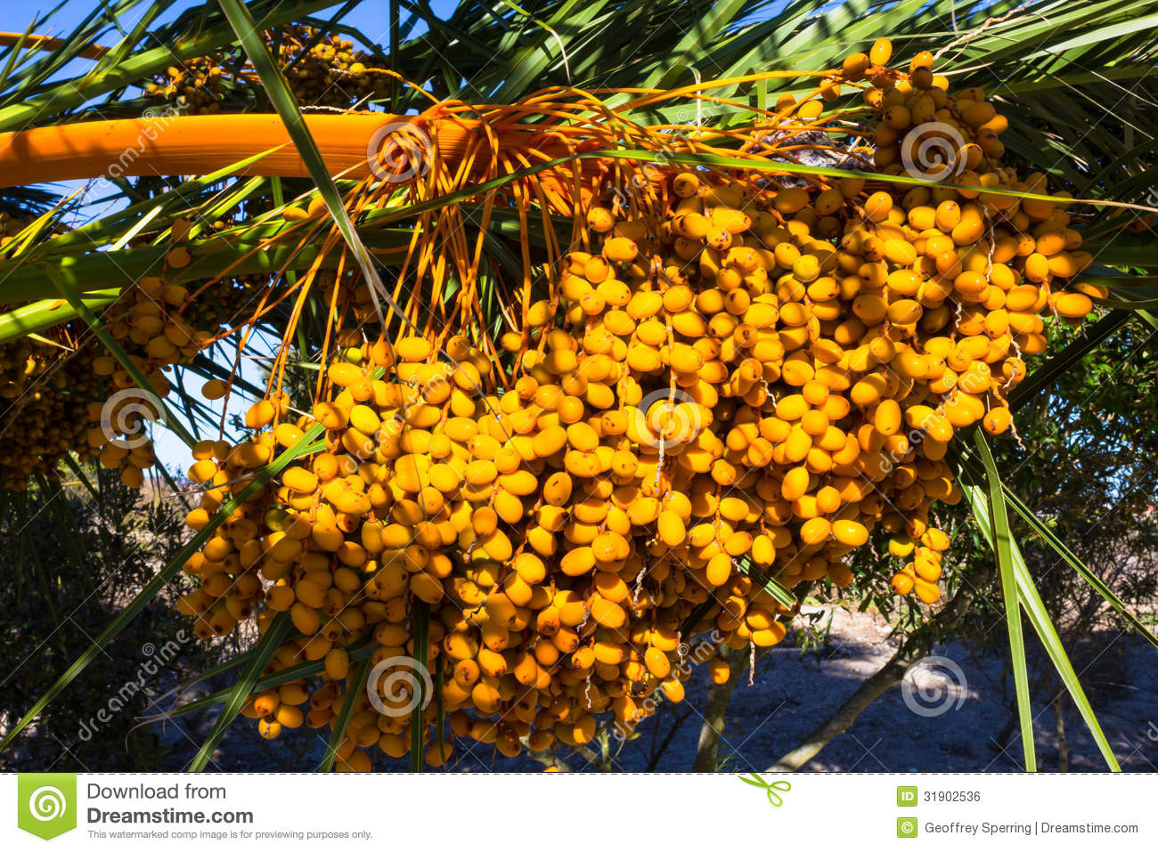 large bunch of yellow palm date fruits on palm tree stock photo