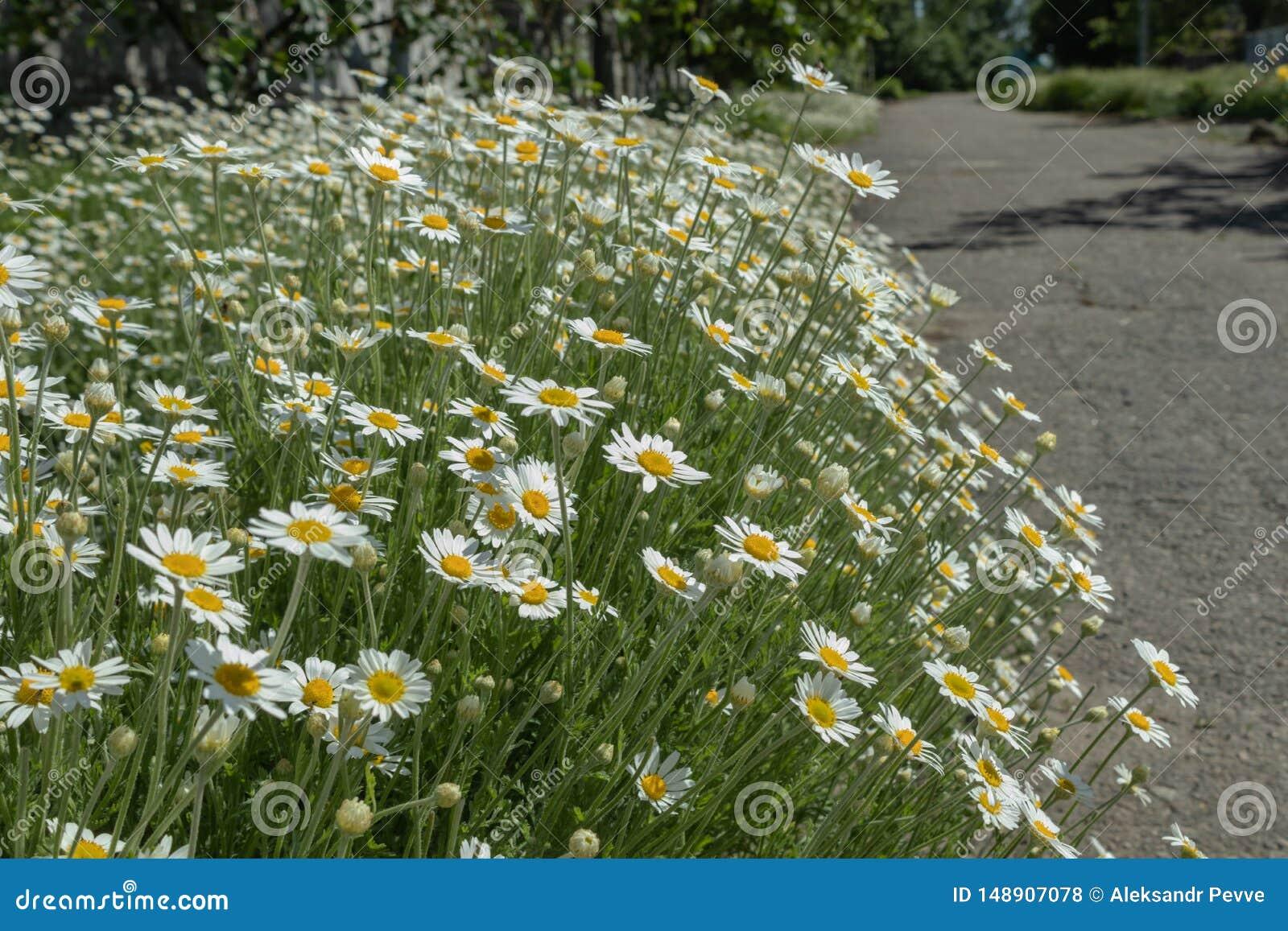 A large bush of blooming daisies near an asphalt road