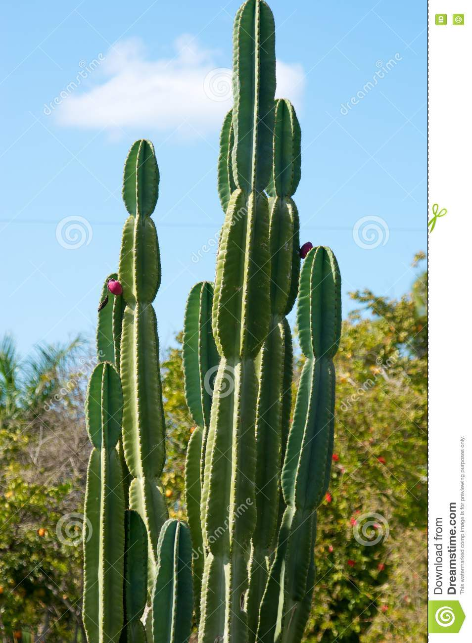 Large Cactus Plant With Trees In The Background Stock