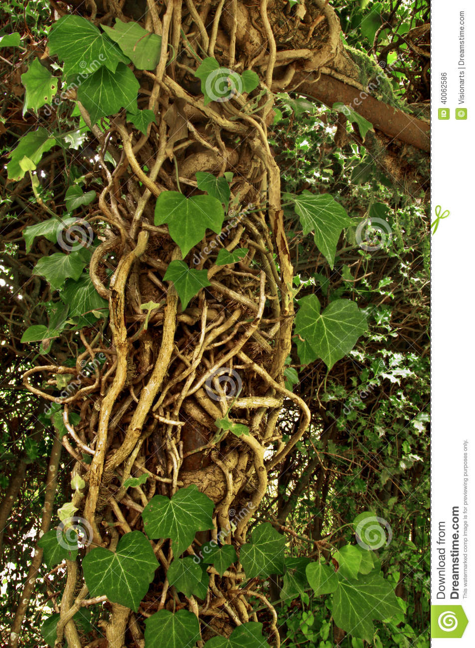 Large cluster of vined ivy roots crawling up trellis
