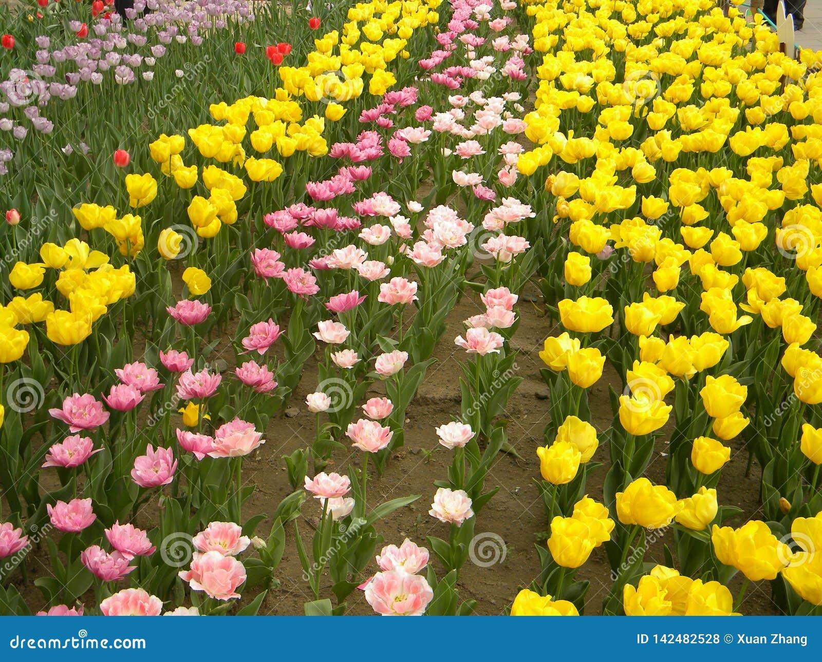 A large color turmeric flower