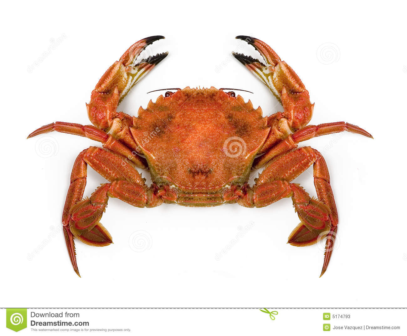 An closeup view of a large crab, isolated on white background.