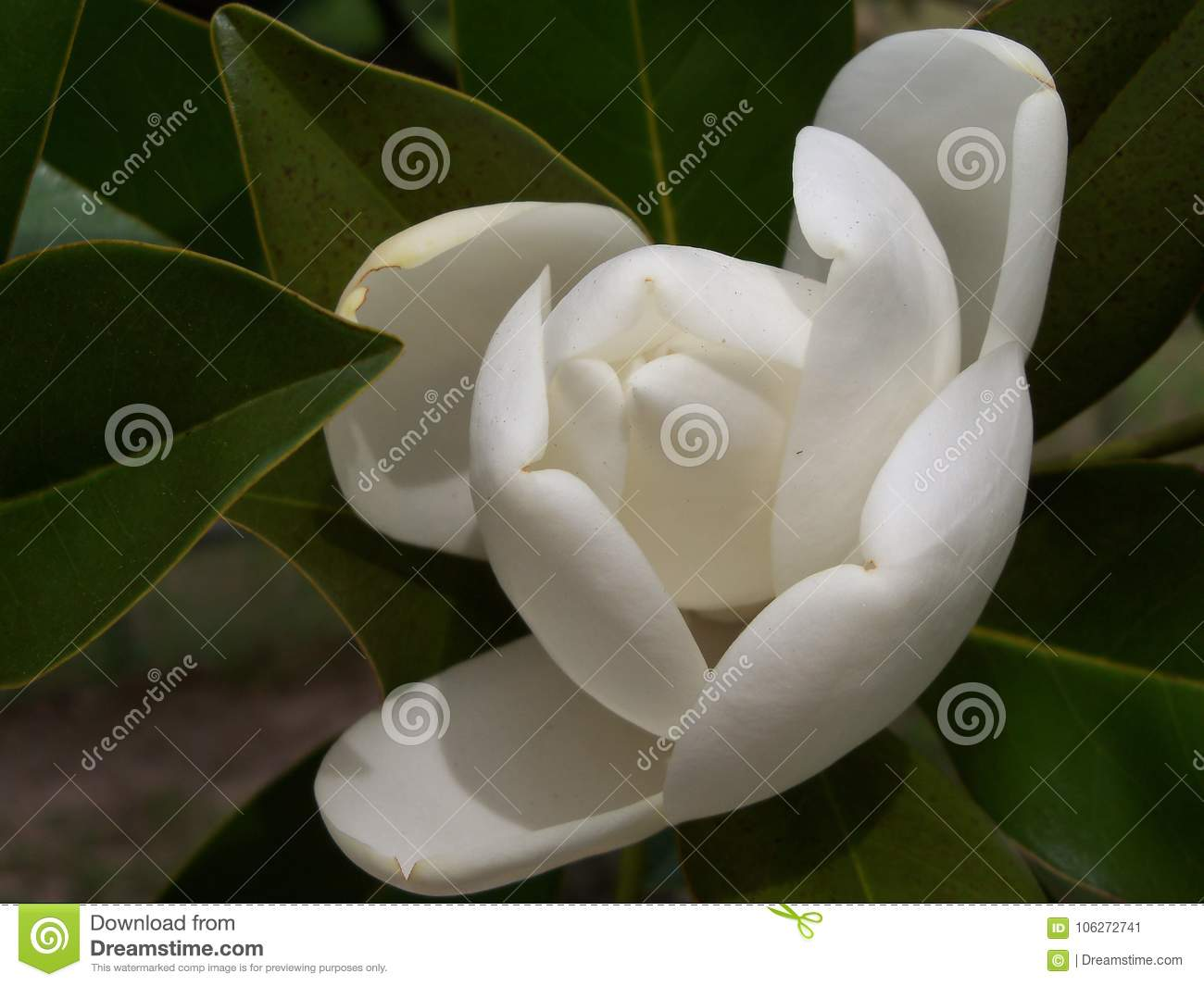 A Large Creamy White Southern Magnolia Bud Just About To Open Stock