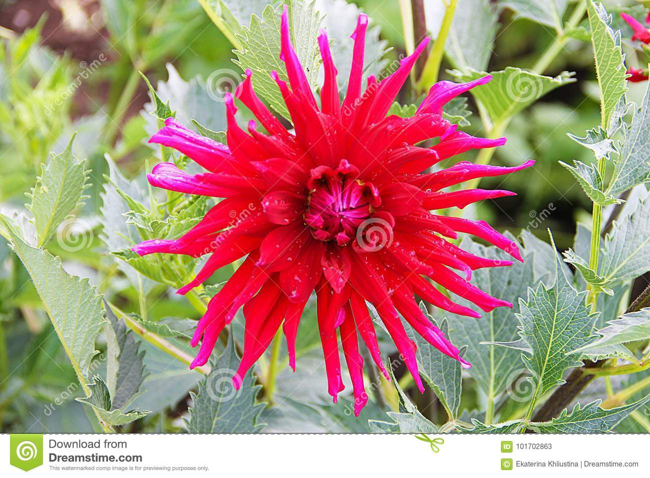 A Large Dahlia Flower Is Bright Red With Raindrops On The Petals