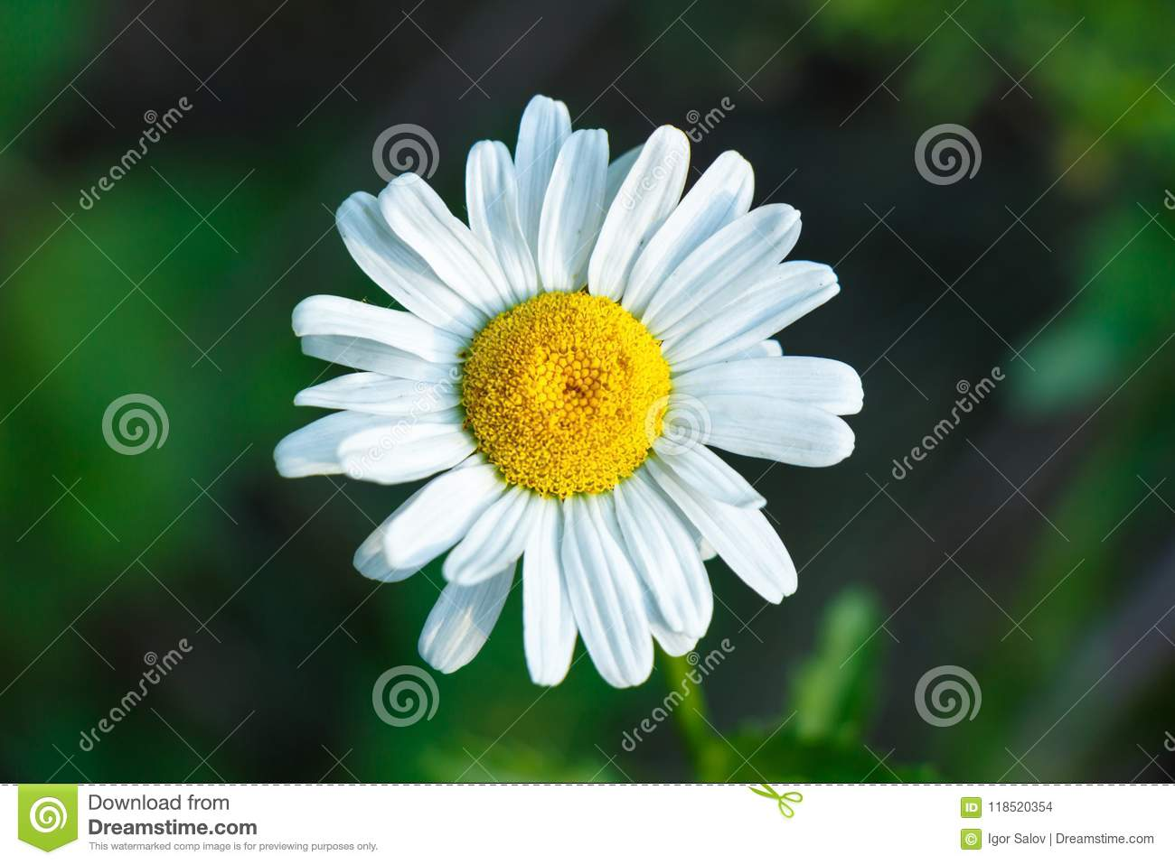 A Large Daisy Flower On A Green Background Close Up Top View Stock