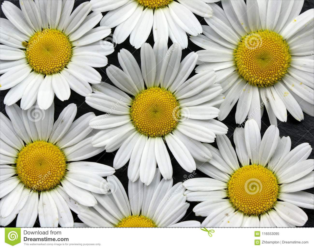 Large Daisy Flowers Background Canvas Wall Art Stock Image Image