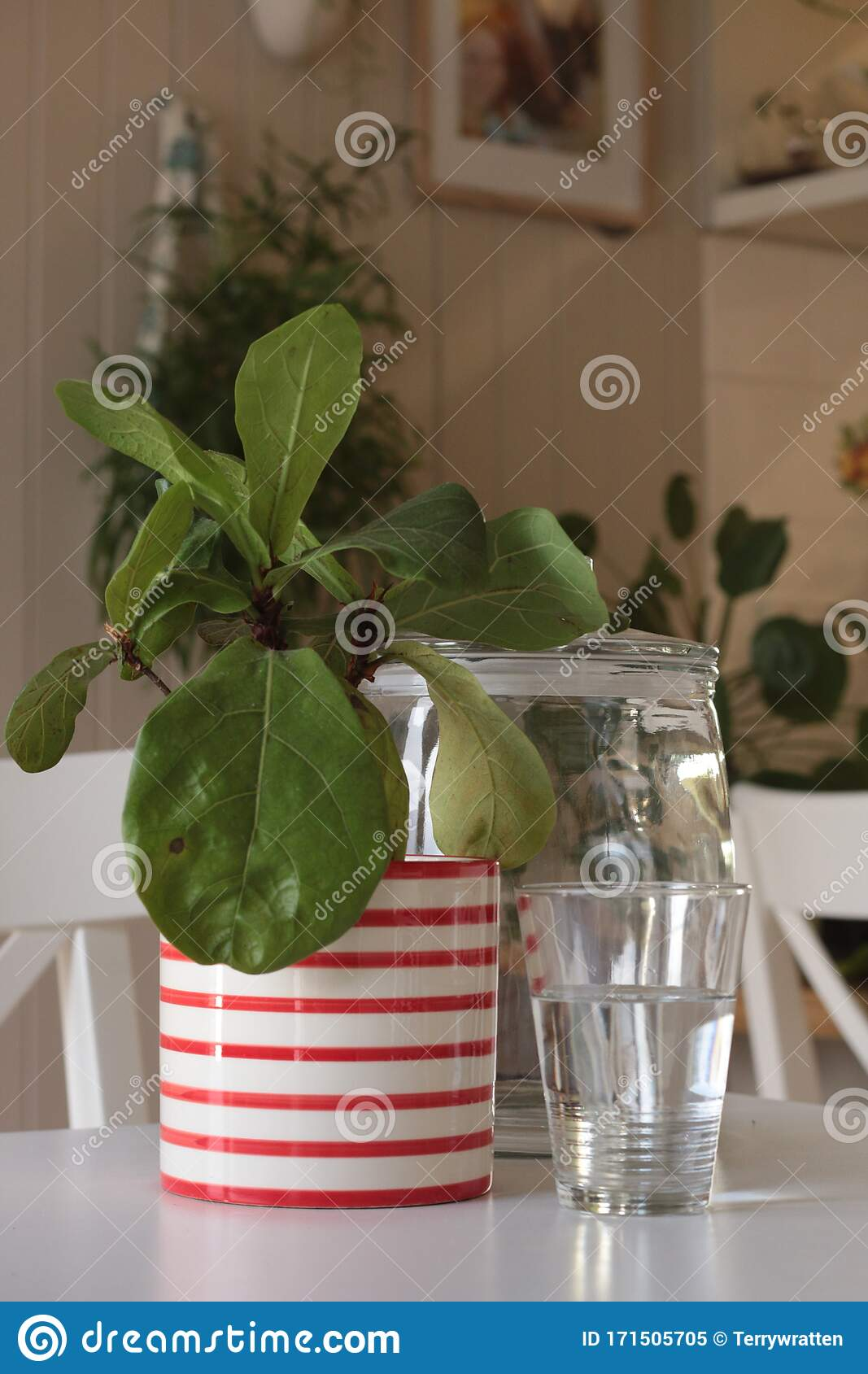 Large Leafed Refreshing Indoor Plant Greenery In A Decorative Ceramic Pot Flourishing In A Well Lit Modern Home Stock Image Image Of Evergreen Beautiful 171505705