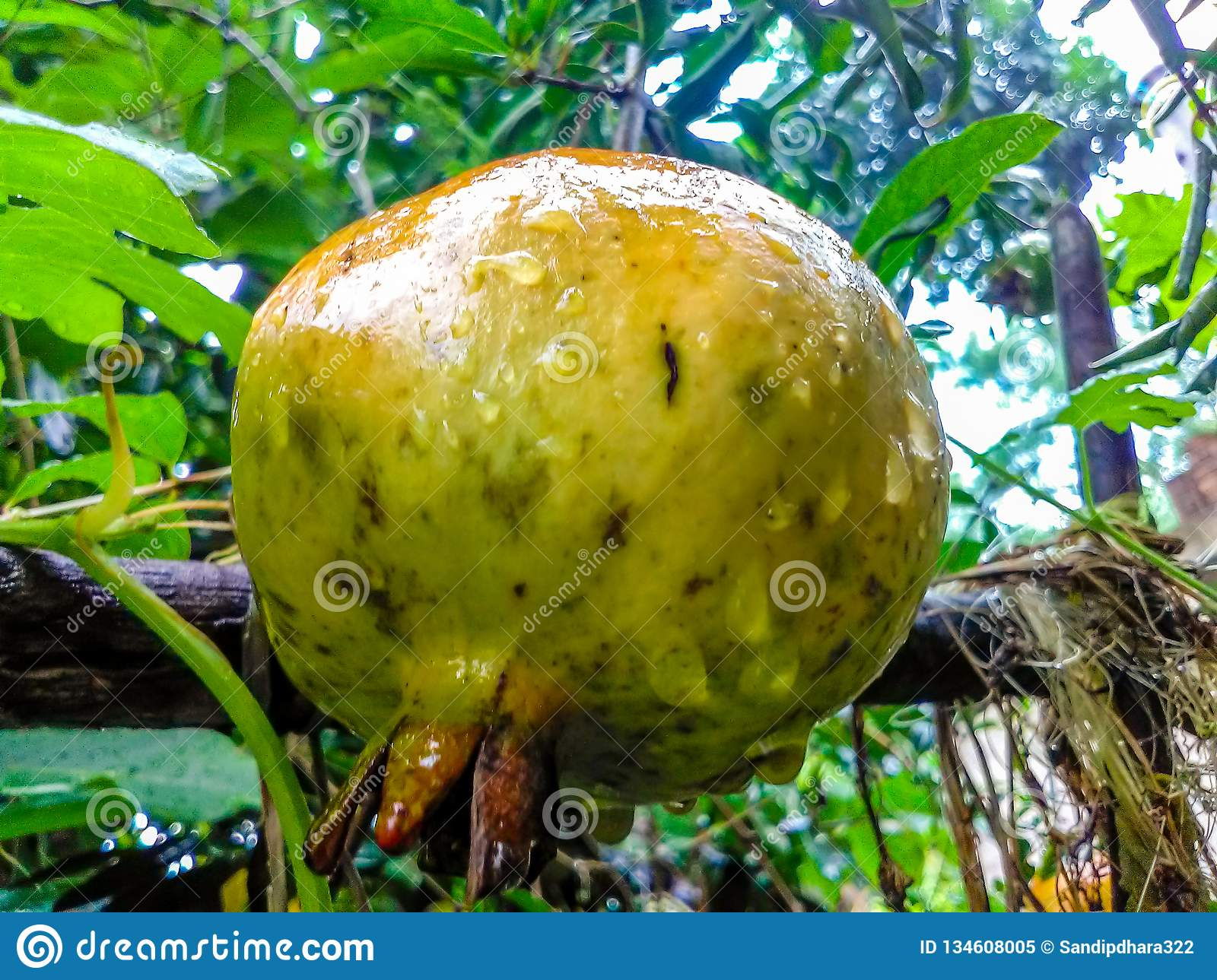Large delicious pomegranate hanging from a tree in a rainy day