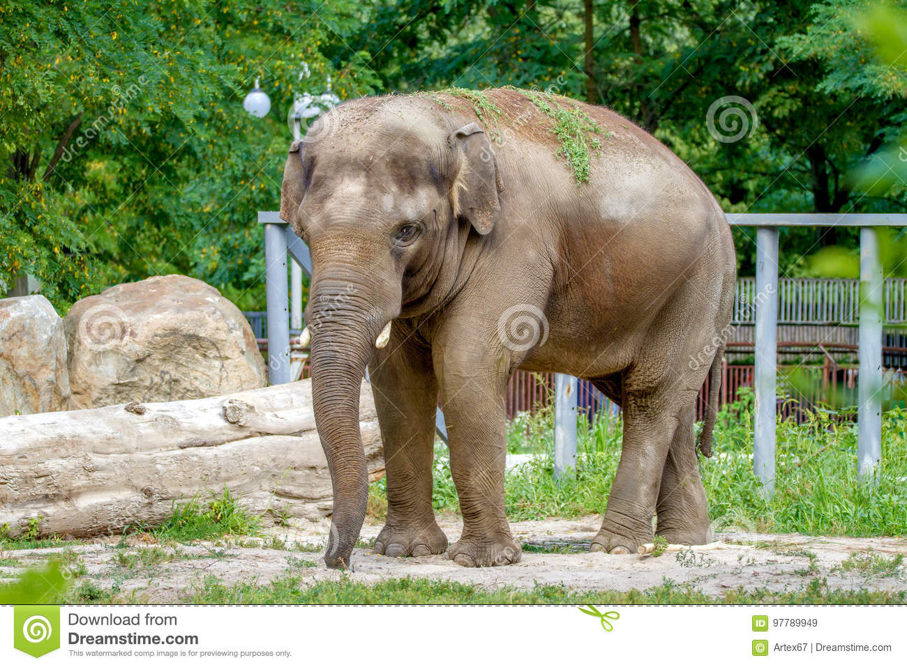 Large Elephant Walks In The Enclosure Of The Zoo Stock Image - Image