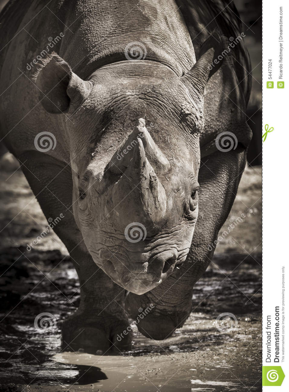 Large Endangered Black Rhino Charges Towards The Camera At Local Zoo