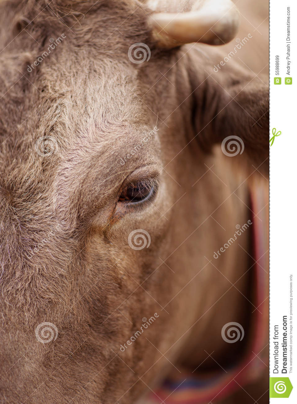 Large Eyes With Eyelashes A Cow And Bull Outdoors Stock Image
