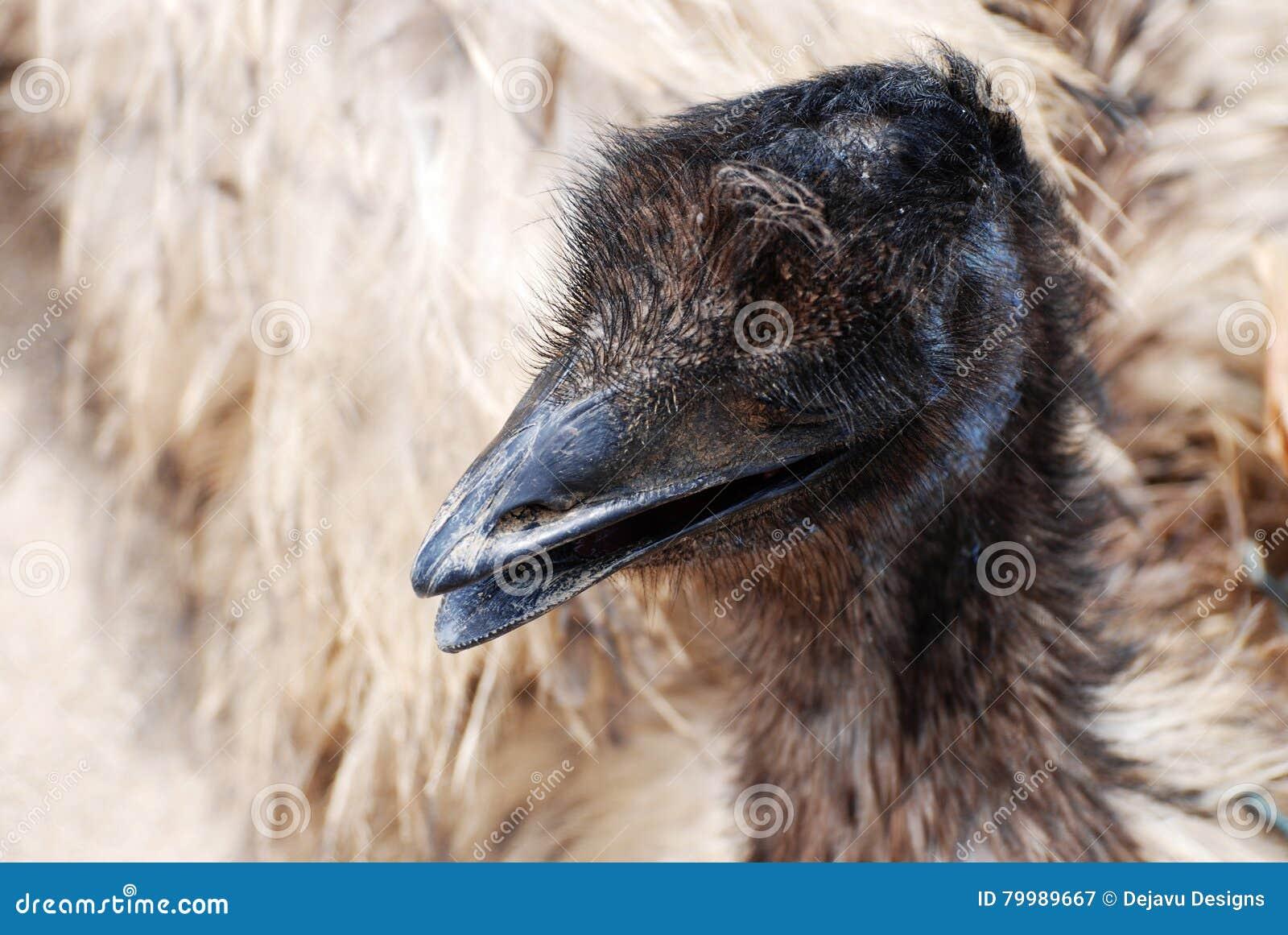 Large Feathered Emu Bird