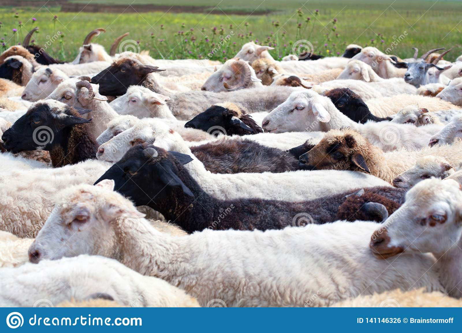 Large flock of white and black sheeps walking on the road on the green field background closeup