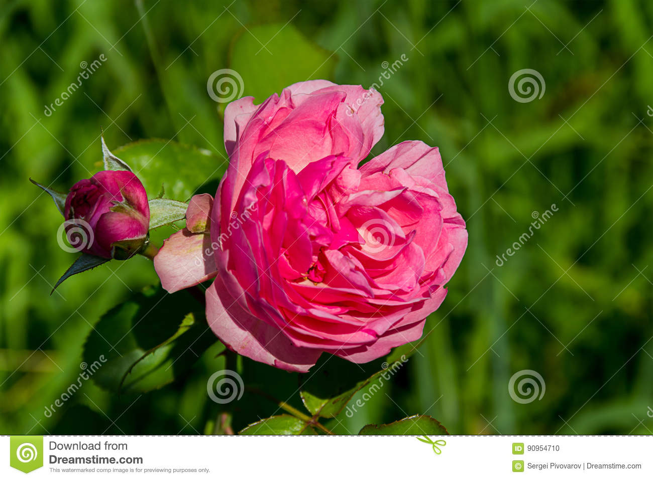 Large flower bud to blossom pink roses with booth burgundy bush on a large flower bud to blossom pink roses with booth burgundy bush on a summer mightylinksfo