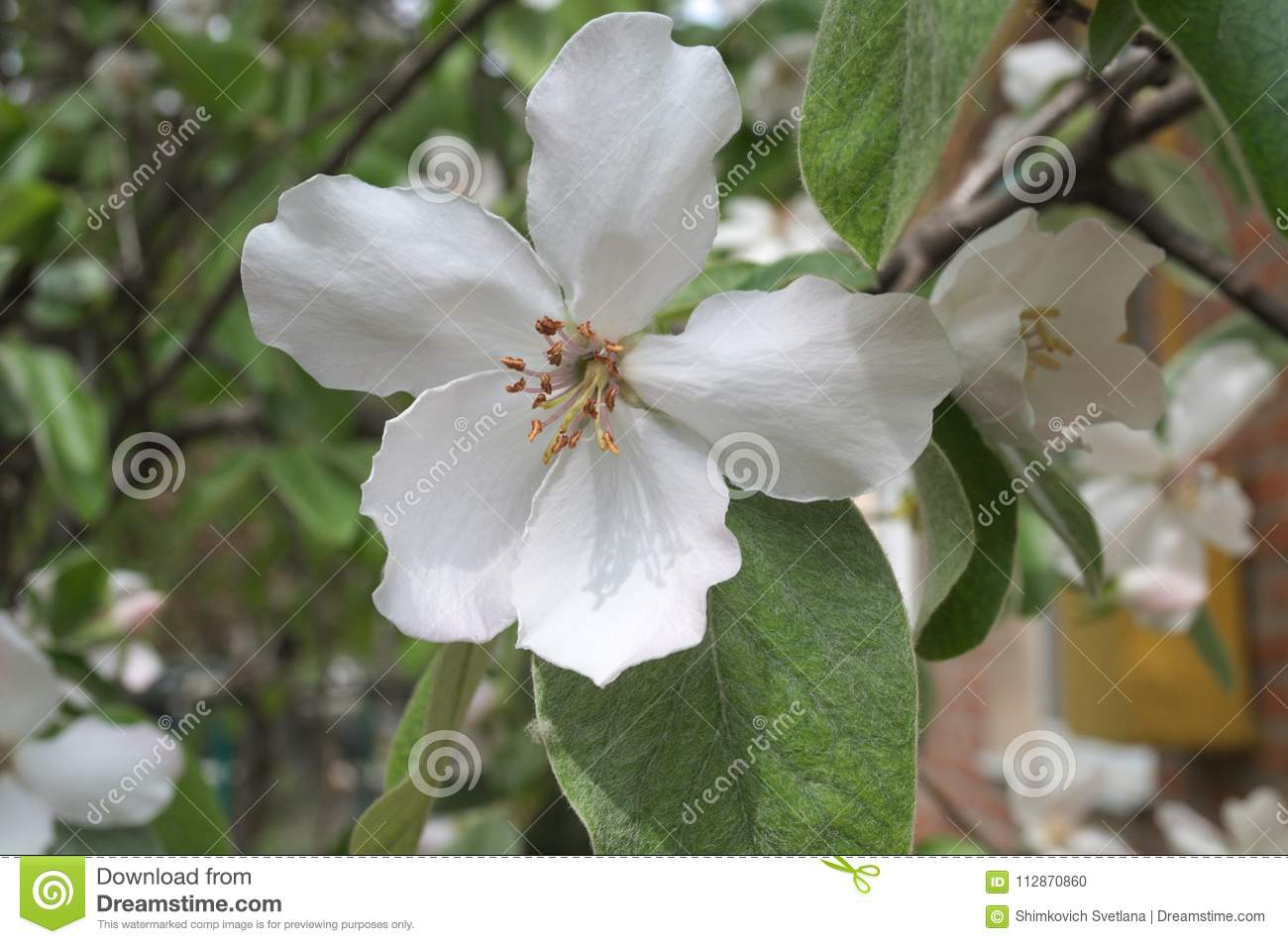 Large Flower Of A Fruit Tree Quince Stock Photo Image Of Spring