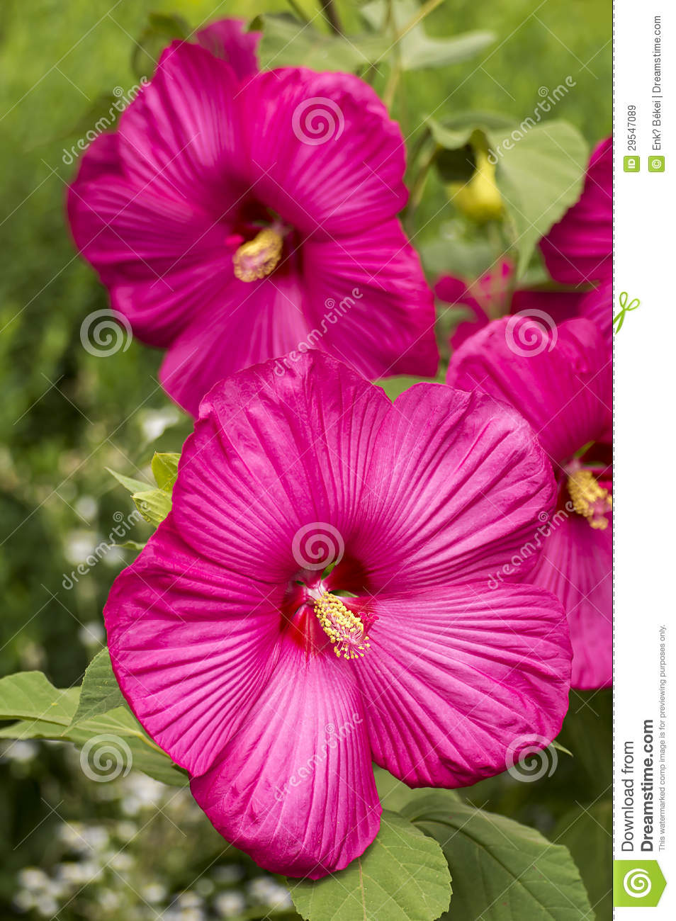 Large flowered pink hibiscus stock image image of carmine island large flowered pink hibiscus mightylinksfo