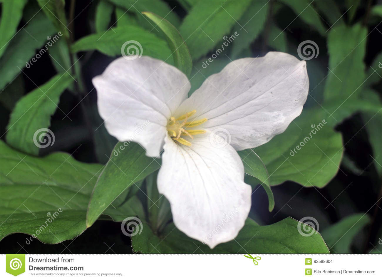 Large Flowered Trillium Stock Photo Image Of Clear Blossom 93588604