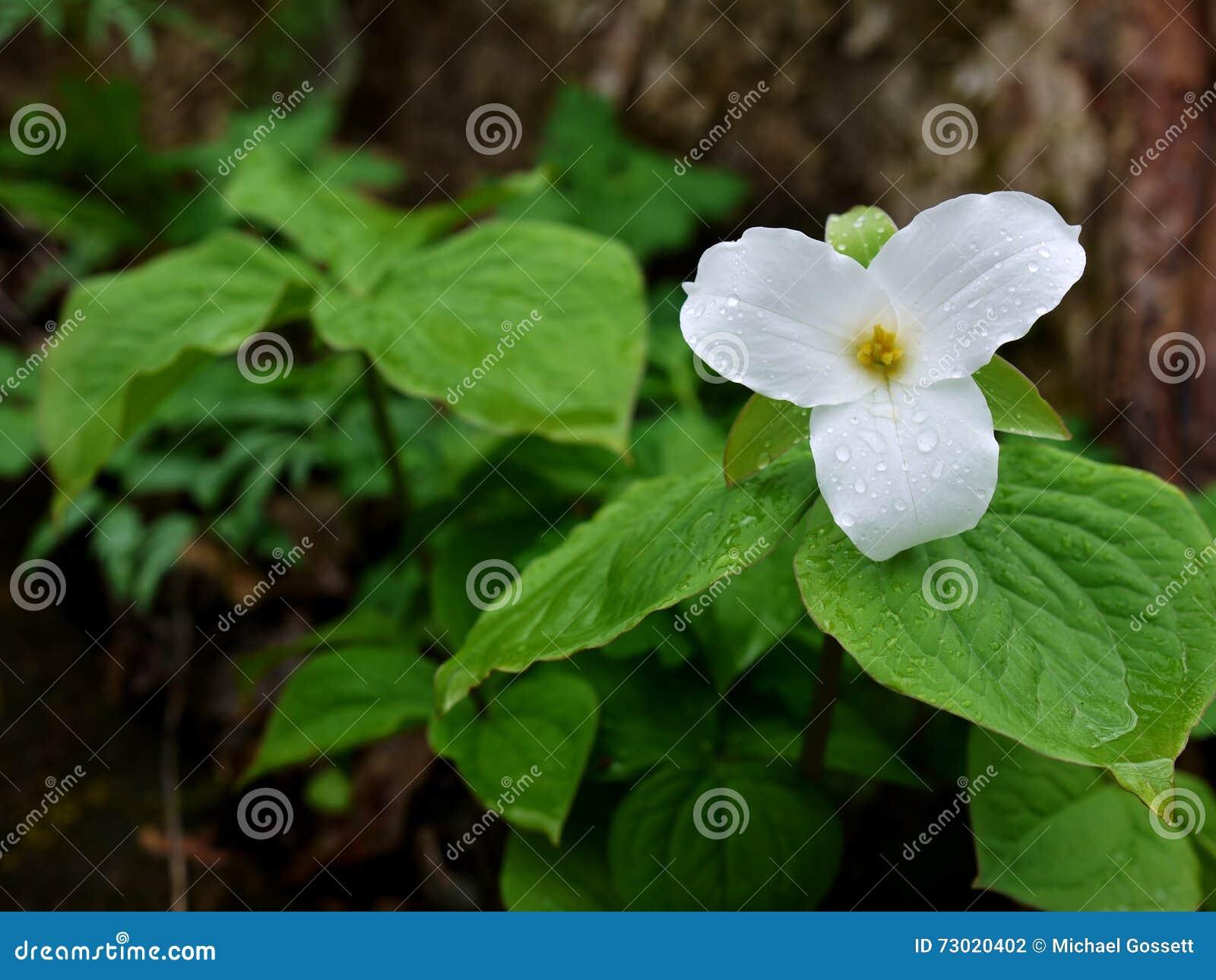 Large Flowered Trillium Trillium Grandiflorum Stock Photo Image
