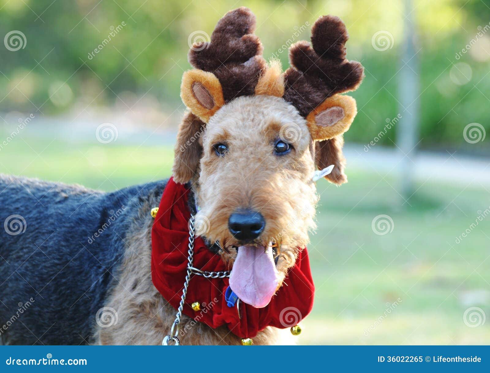 Large fluffy dog christmas costume reindeer antler royalty free stock