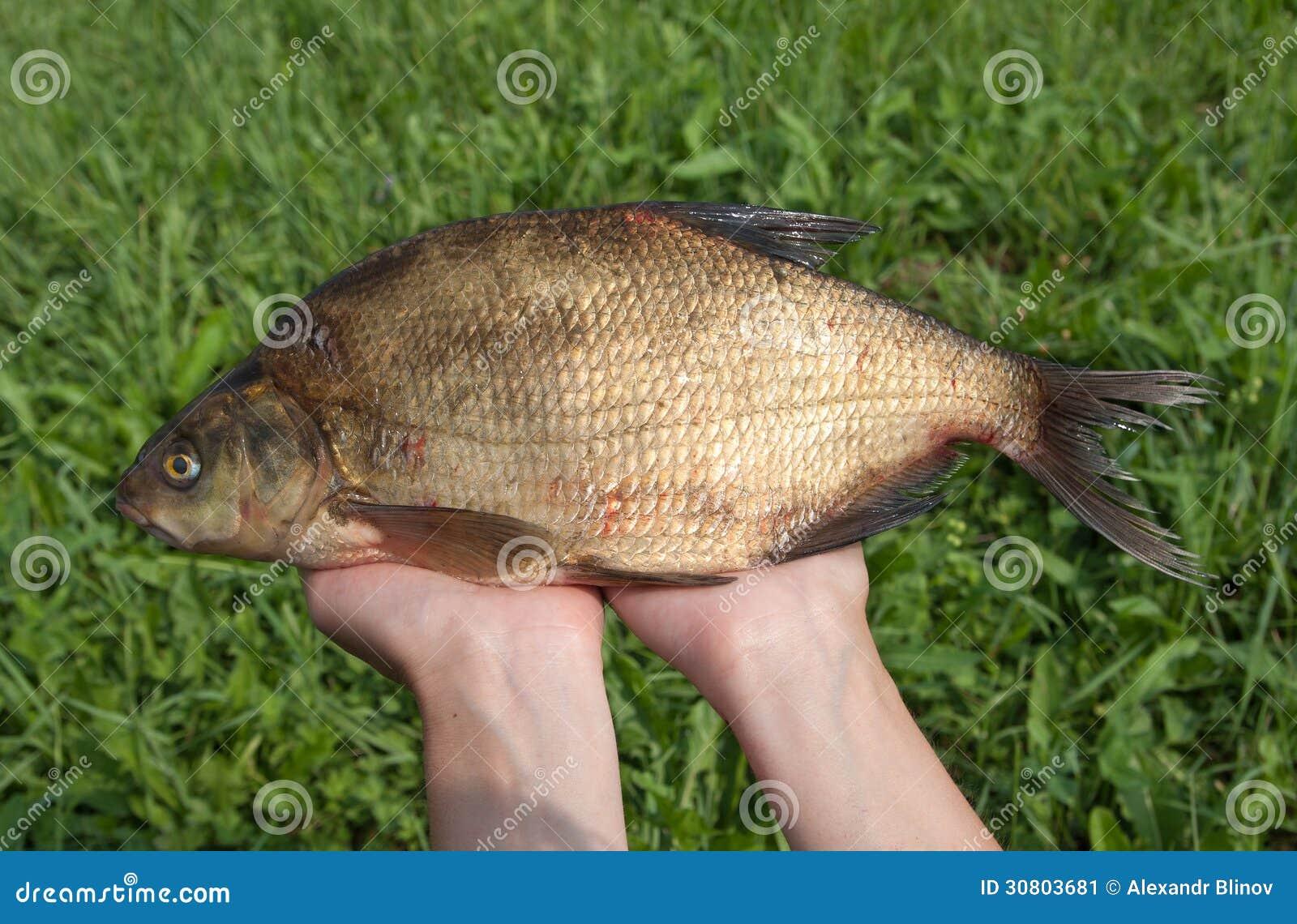 Freshwater fish bream - Large Freshwater Bream