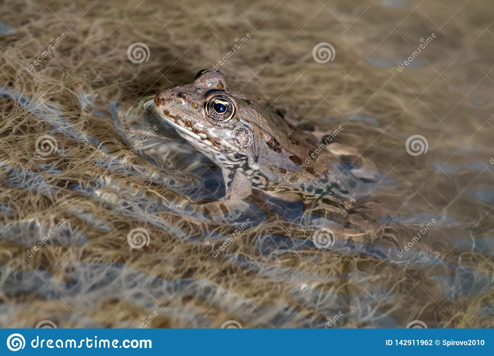 A large frog in water on a river