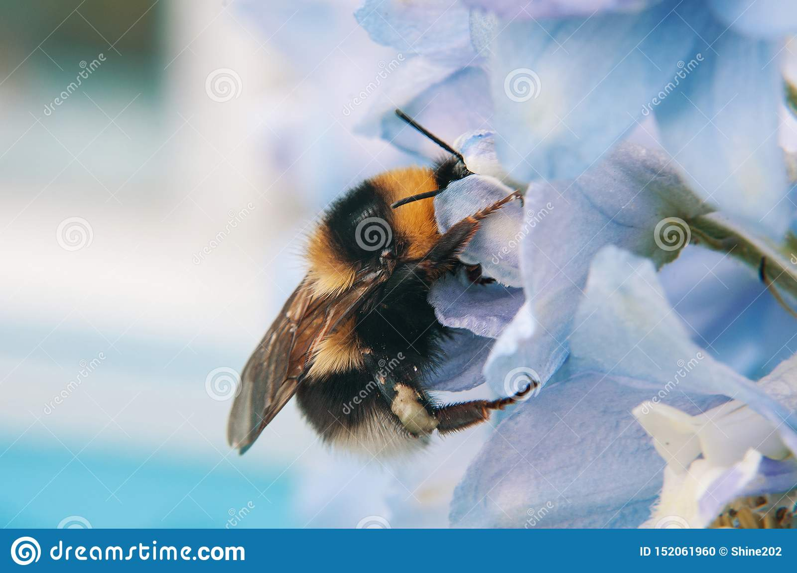 A large furry bumblebee closeup, which drinks the nectar of the blue flower bell