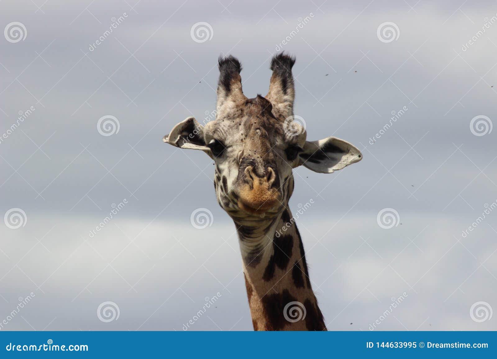 Head of a giraffe looking
