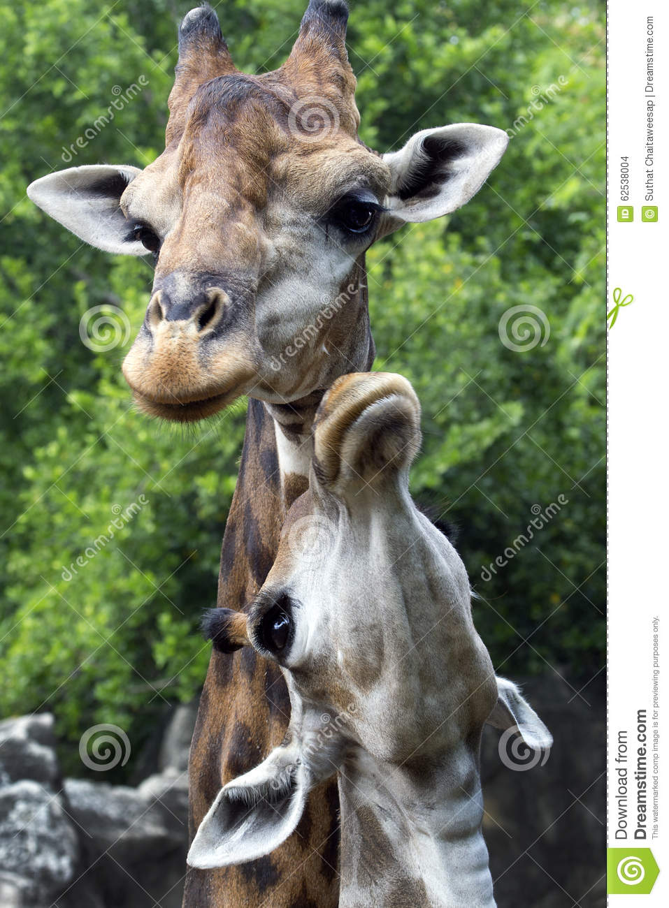A Large Giraffe Mother And Baby Giraffe Stock Photo Image Of