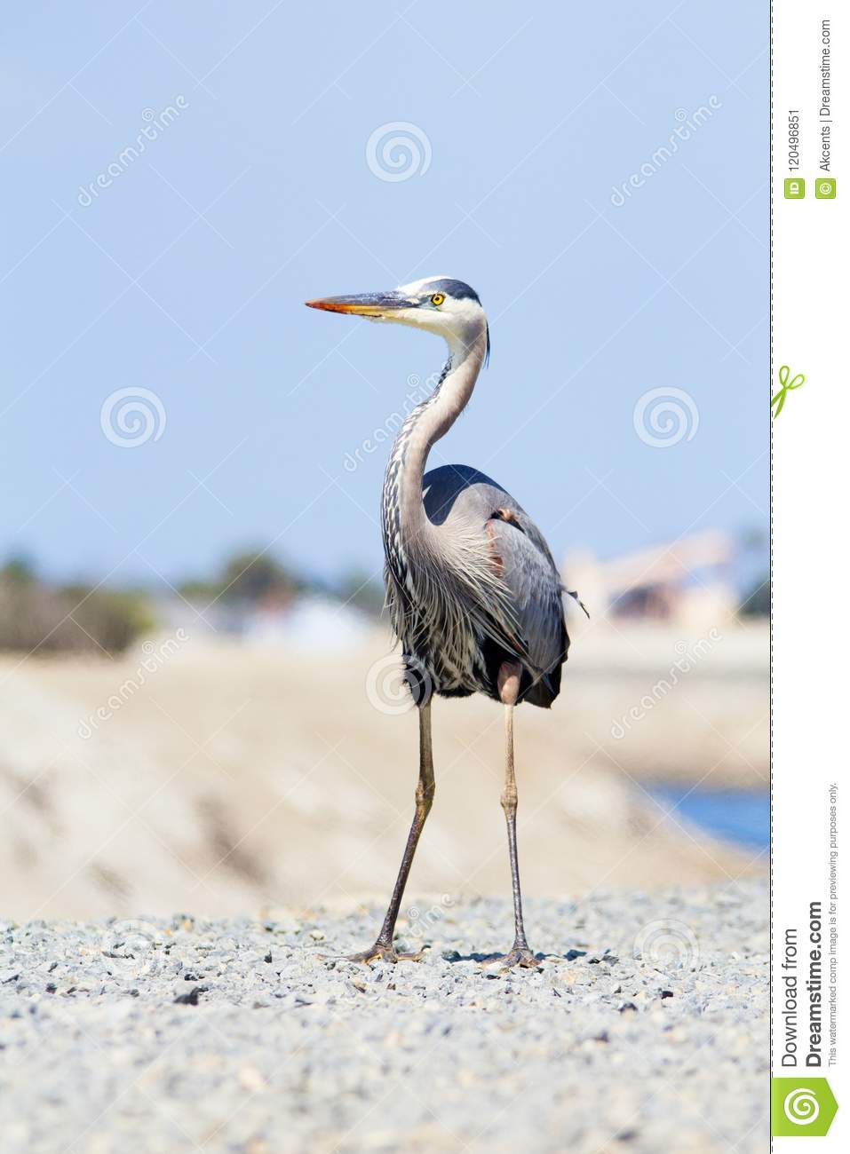 Large Gray And White Bird On Top Of Hill Great Blue Heron Stock