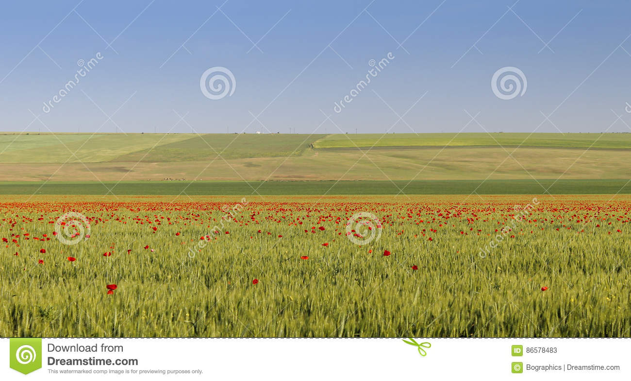 Large green field with a lot of scattered poppies