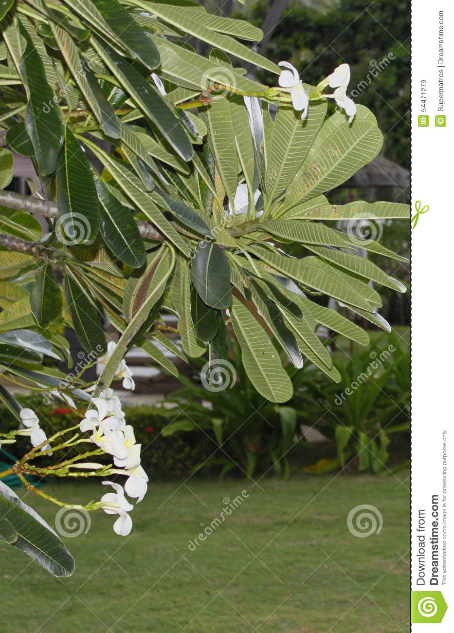 Large green leaves and white flowers stock image image of flower download large green leaves and white flowers stock image image of flower folium mightylinksfo