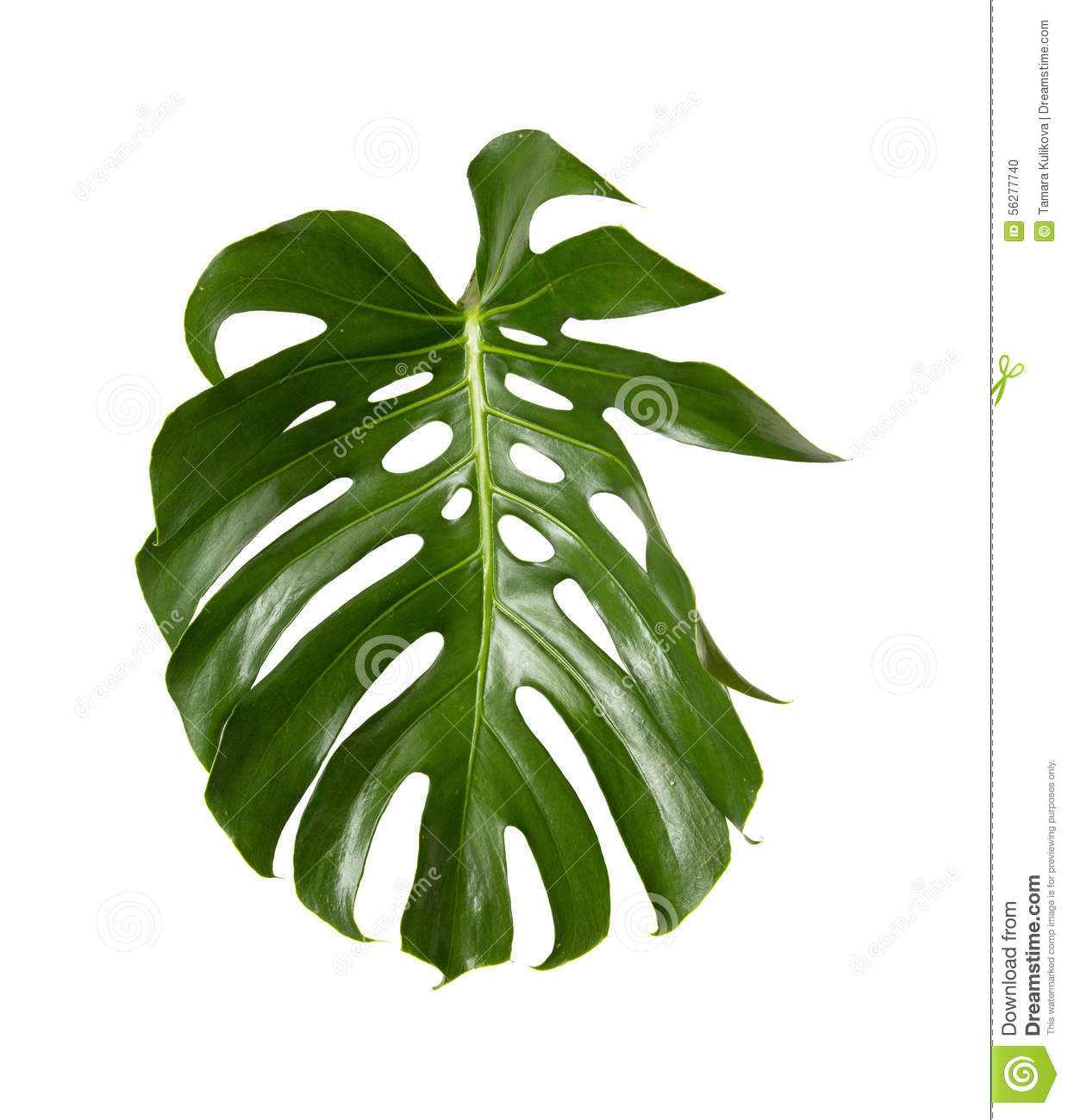 Big Green Egg Outdoor Kitchen: Big Green Leaf Of Monstera Plant Stock Image
