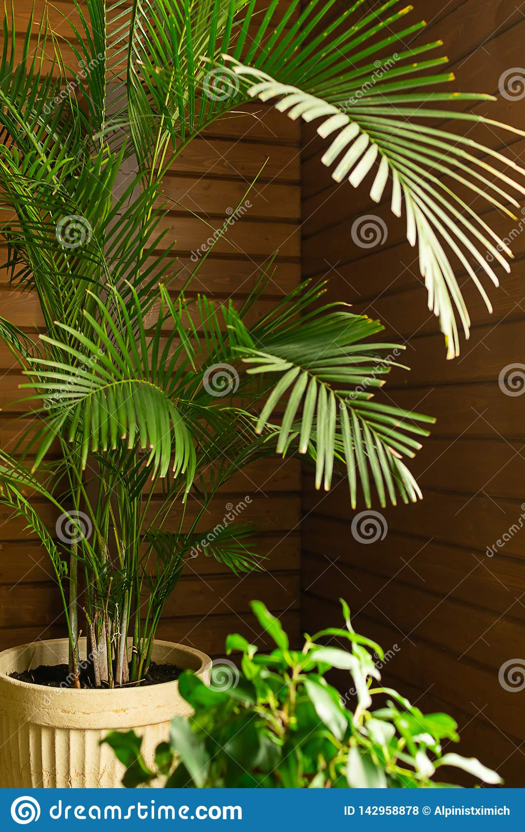 A large green tropical palm tree plant in a pot in the conservatory conservatory. Flowers in the interior.
