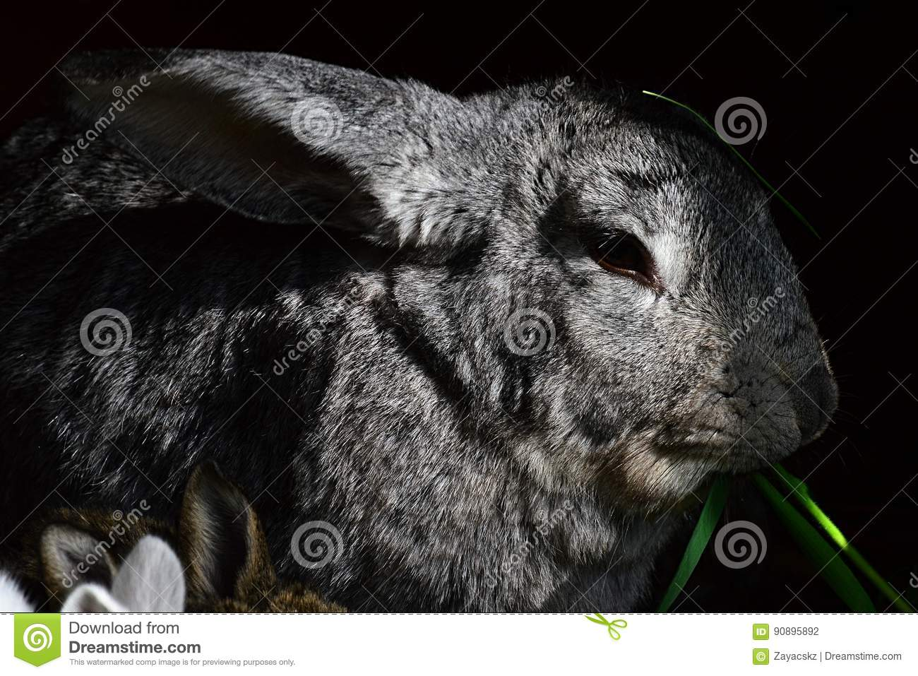 Large grey female domesticated rabbit Oryctogalus eating fresh green grass