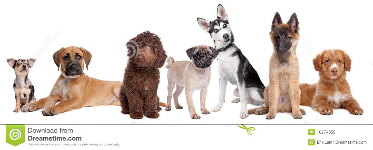 white background.from left to right,blue merle Chihuahua, mixed breed ...